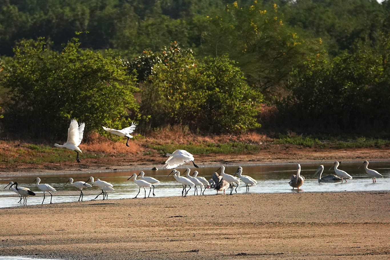 African Spoonbill, Pirang, The Gambia.