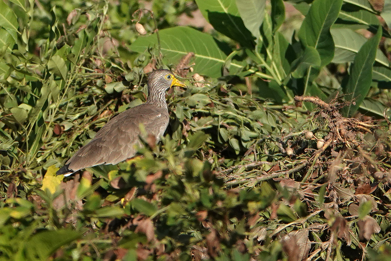 African Wattled Lapwing, Tujereng, The Gambia.