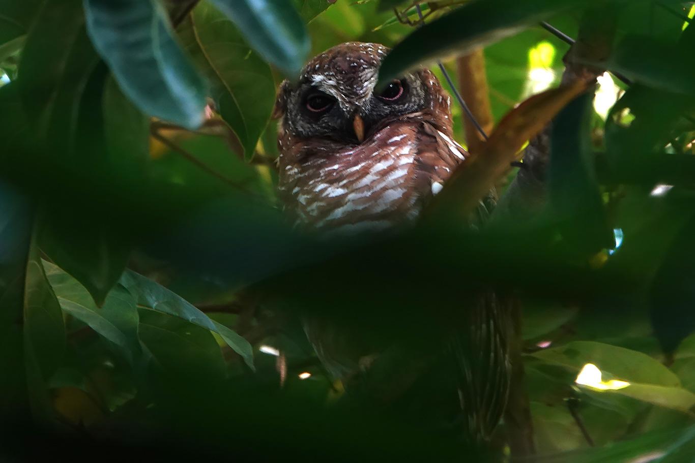 African Wood Owl, Farasuto, The Gambia.