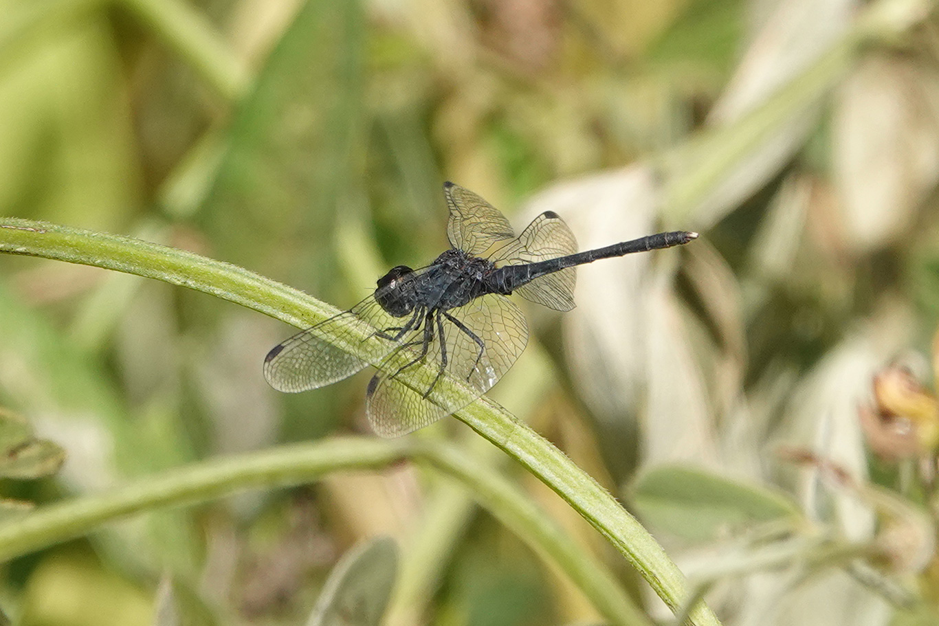 Black Percher Dragonfly, Jakhaly, The Gambia.