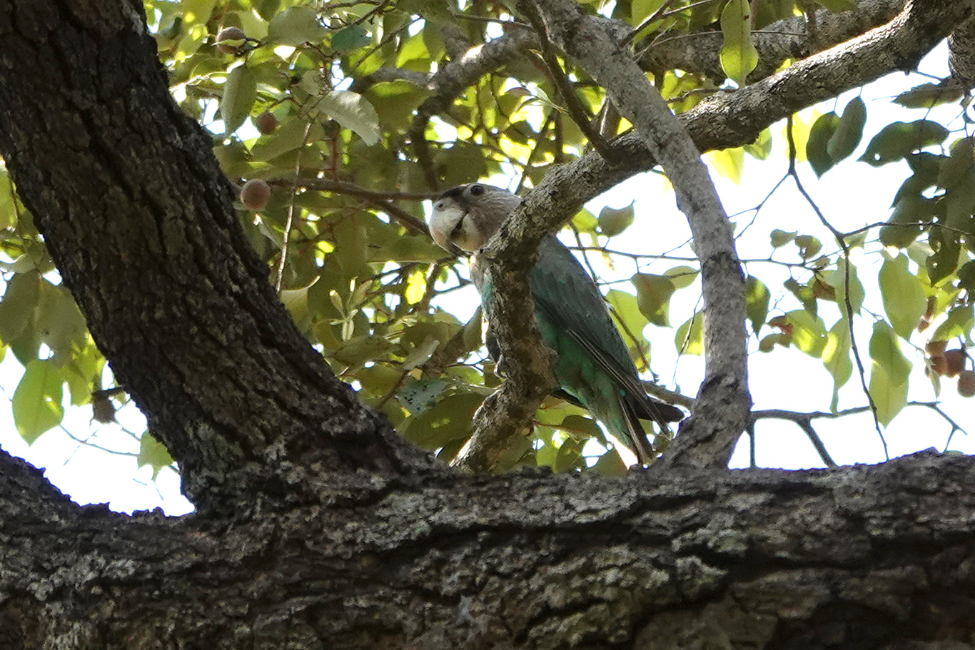 Brown-necked Parrot, Farasuto, The Gambia.