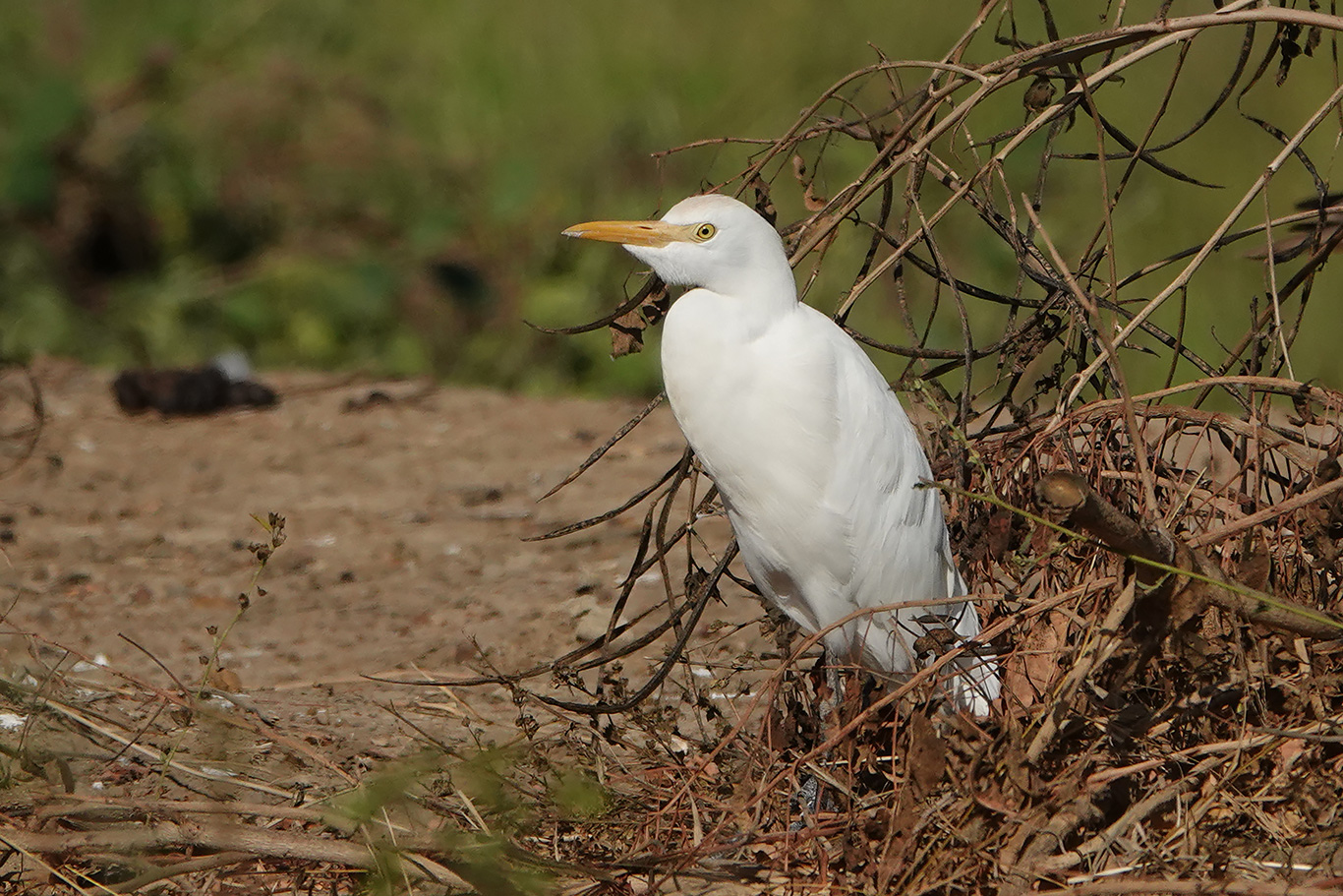 Cattle Egret, Jakhaly, The Gambia.