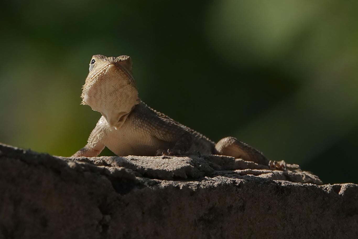 Lizard sp., Tujereng, The Gambia.