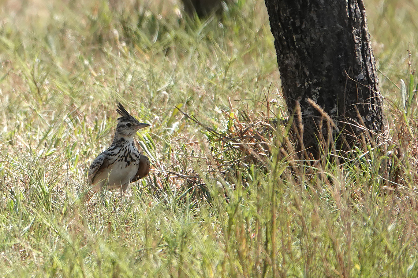 Crested Lark, Kartong, The Gambia.