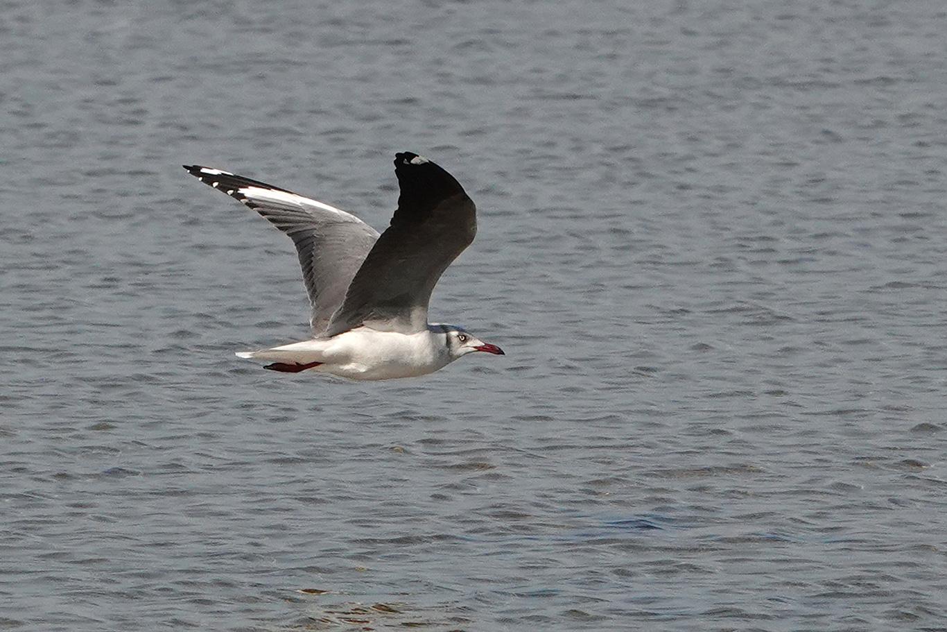 Grey-headed Gull, Pirang, The Gambia.