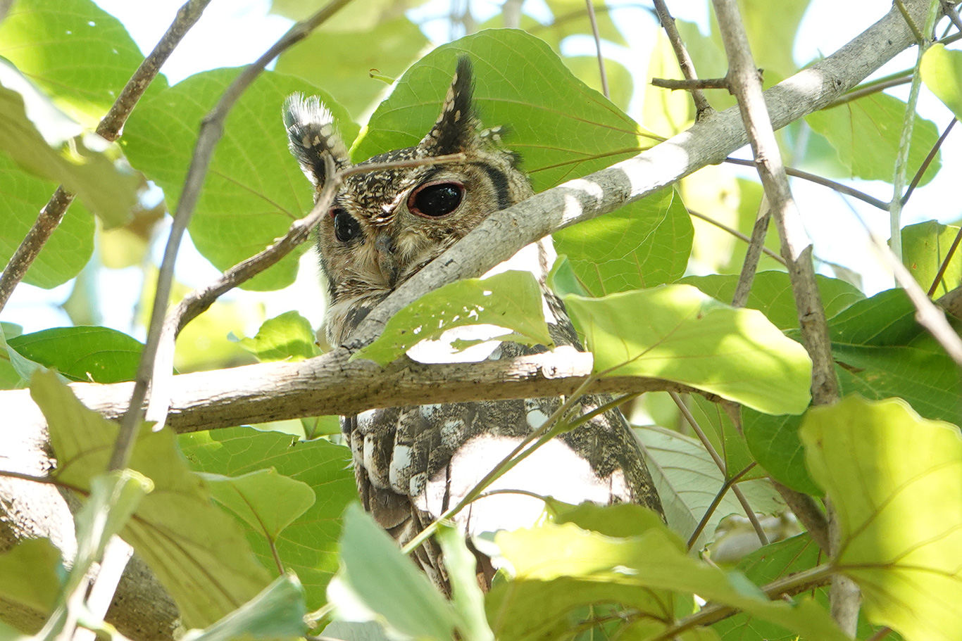 Greyish Eagle Owl, Farasuto, The Gambia.
