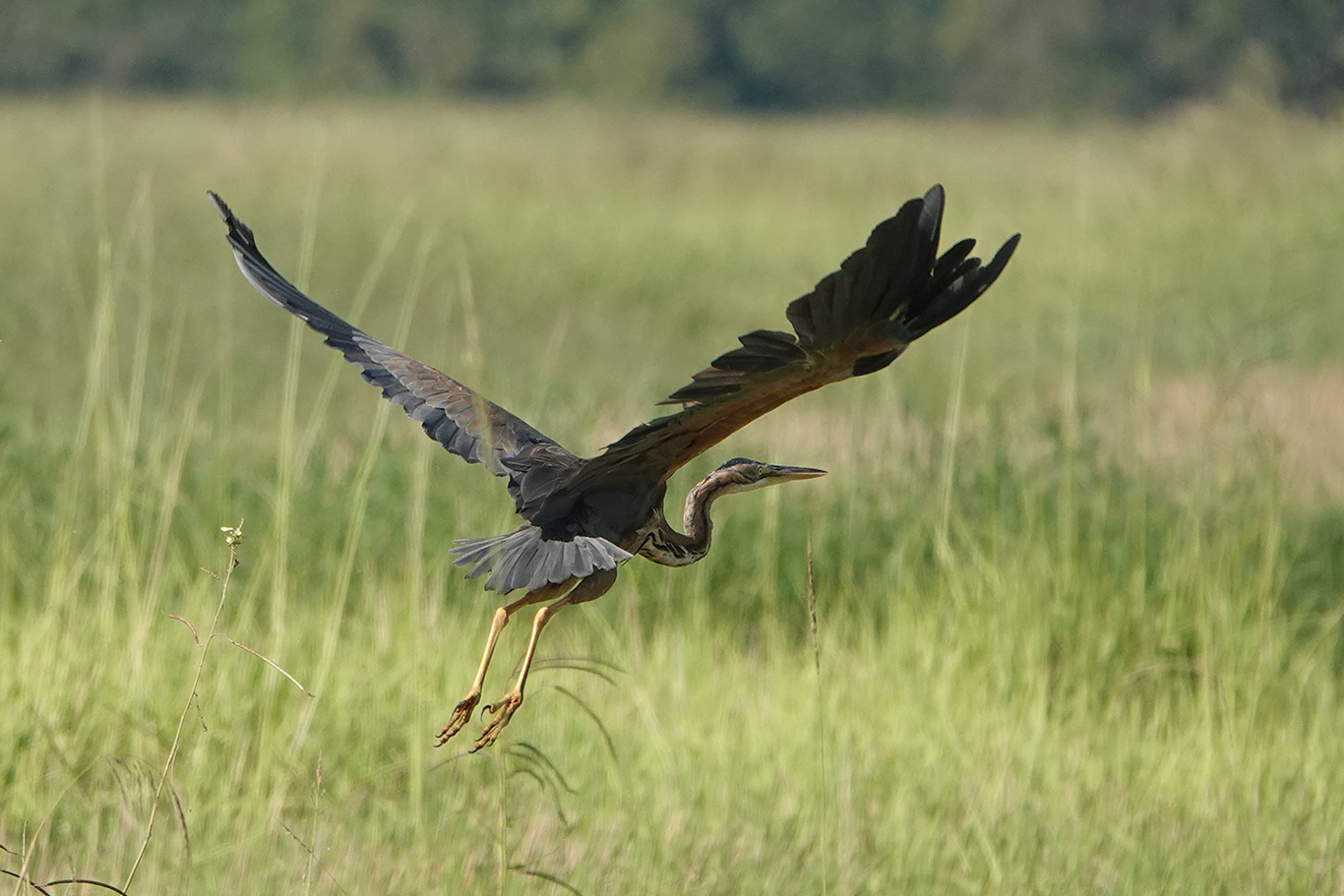Purple Heron, Jakhaly, The Gambia.