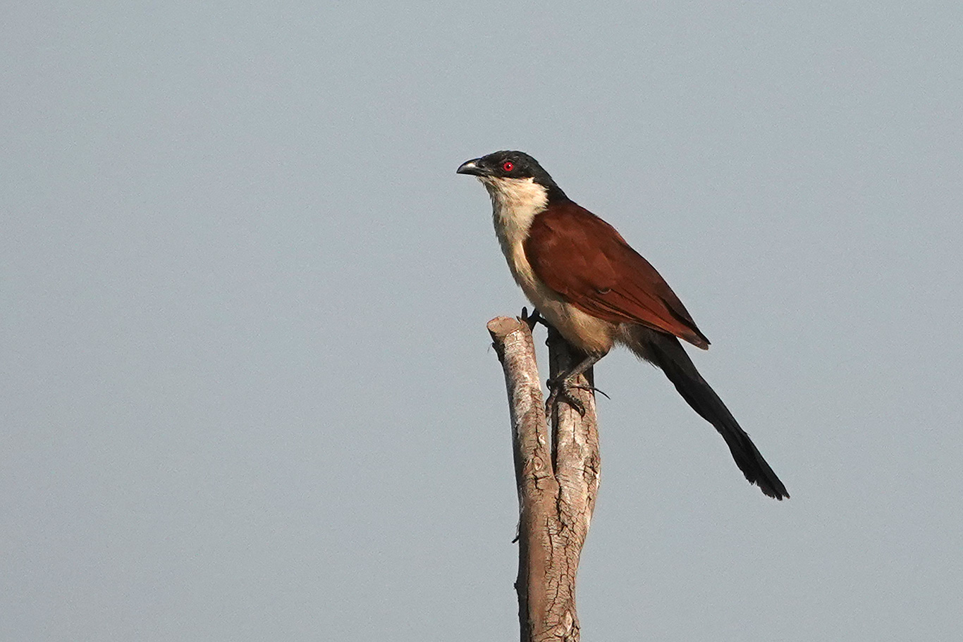 Senegal Coucal, Jakhaly, The Gambia.
