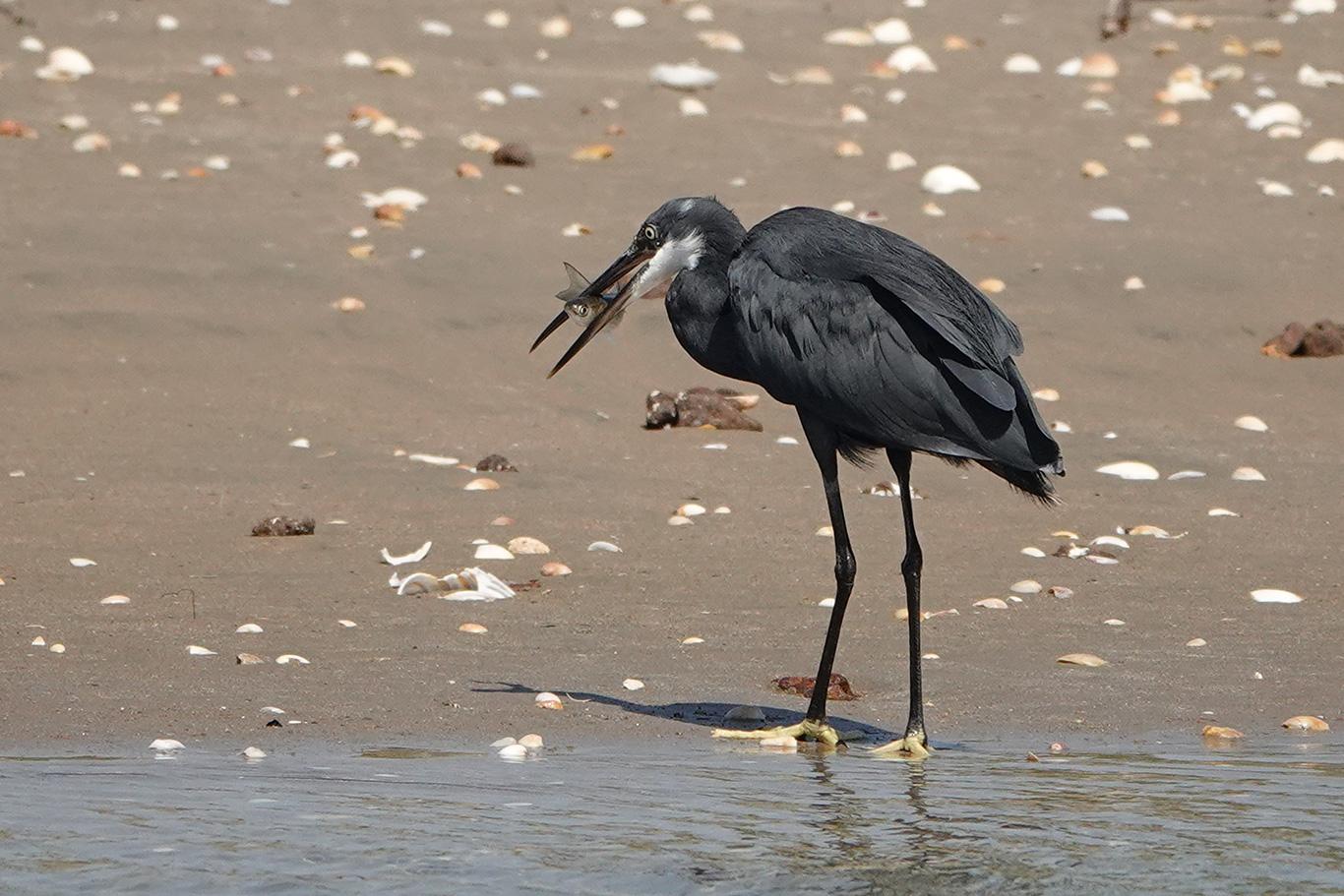 Western Reef Heron, Kartong, The Gambia.