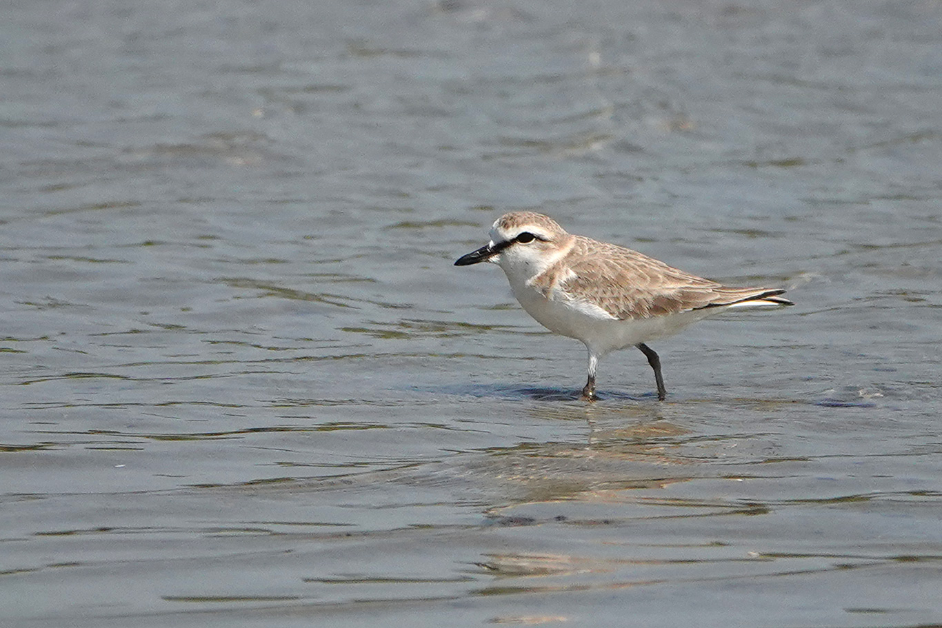 White-faced Plover, Kartong, The Gambia.