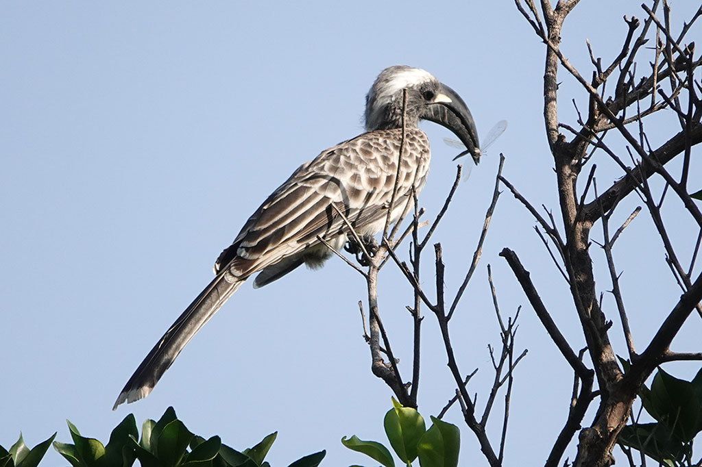 African Grey Hornbill, Brufut Woods, The Gambia.