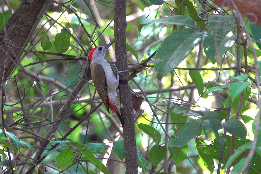 African Grey Woodpecker, Brufut Woods, The Gambia.