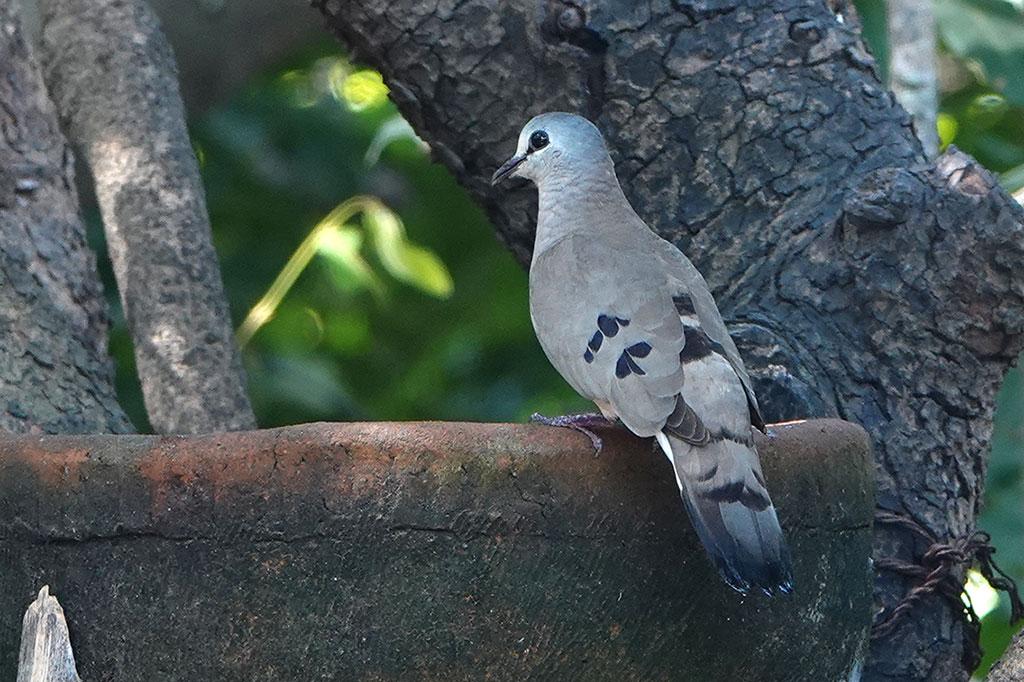 Black-billed Wood Dove, Brufut Woods, The Gambia.