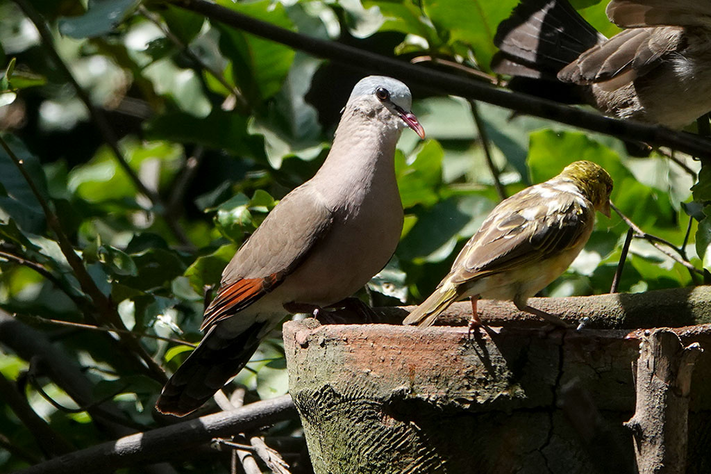 Blue-spotted Wood Dove, Brufut Woods, The Gambia.