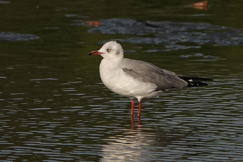 Grey-headed Gull, Kotu, The Gambia.