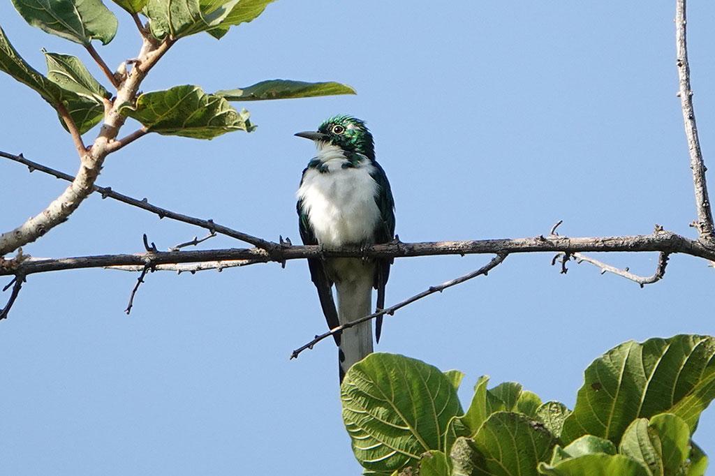 Klass's Cuckoo, Brufut Woods, The Gambia.
