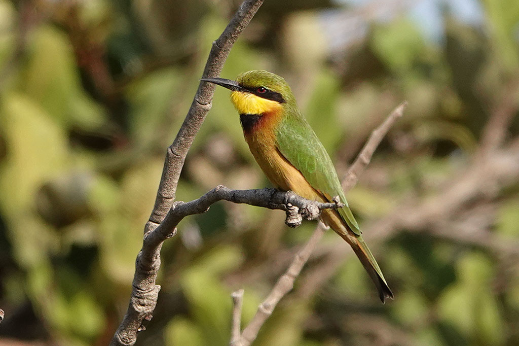 Little Bee-eater, Brufut Woods, The Gambia.