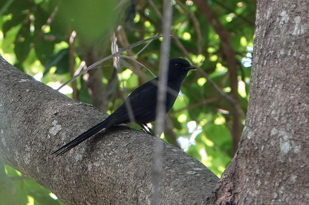 Northern Black Flycatcher, Brufut Woods, The Gambia.