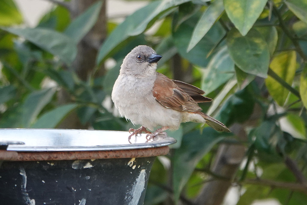 Northern Grey-headed Sparrow, Brufut, The Gambia.