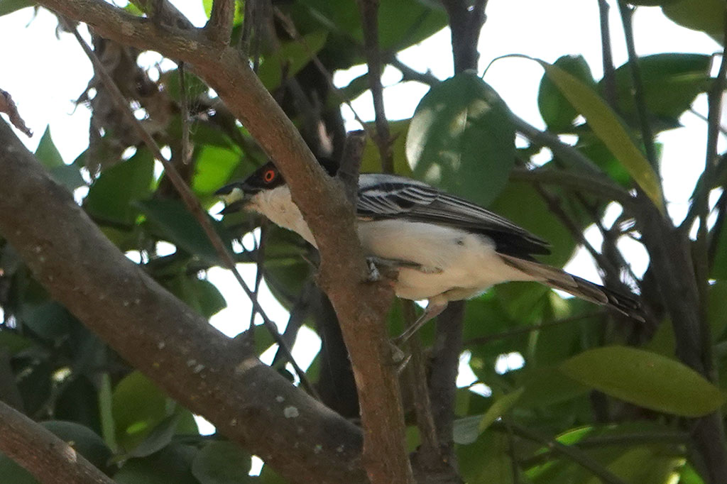Northern Puffback, Brufut Woods, The Gambia.