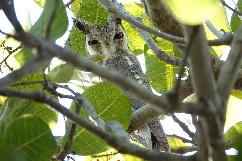 Northern White-faced Owl, Brufut Woods, The Gambia.