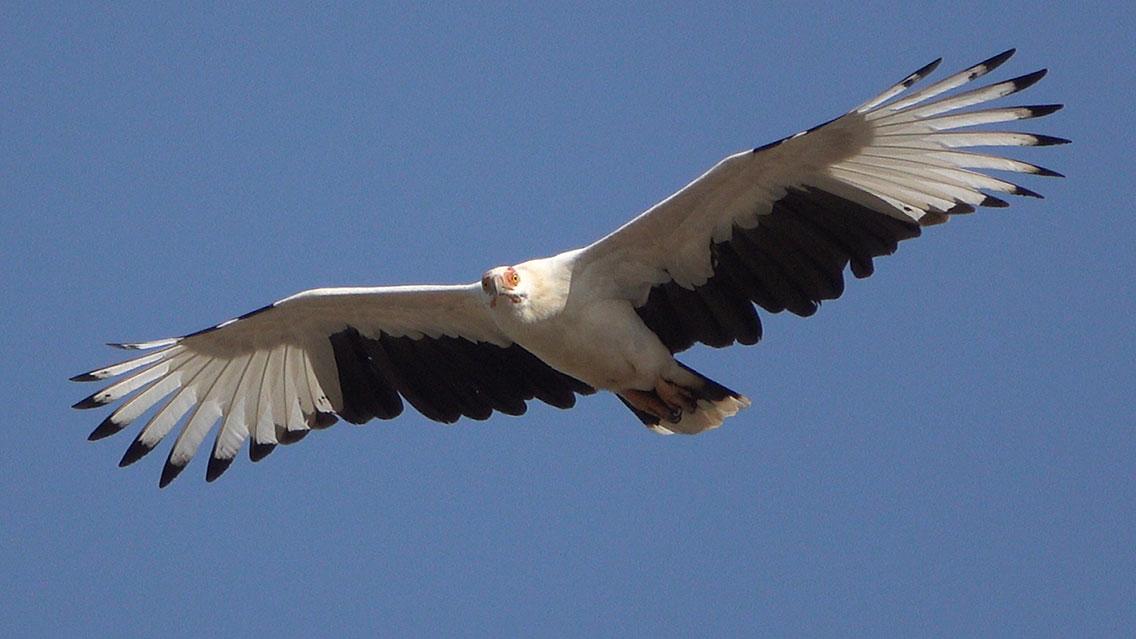 Palm-nut Vulture, Tanji beach, The Gambia.