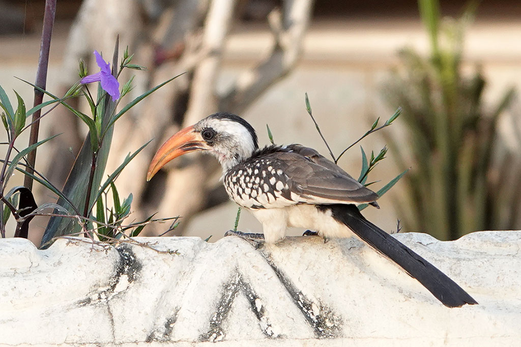 Red-billed Hornbill, Brufut, The Gambia.