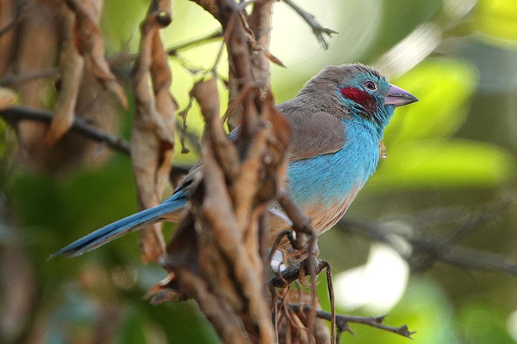 Red-cheeked Cordon-bleu, Brufut Woods, The Gambia.