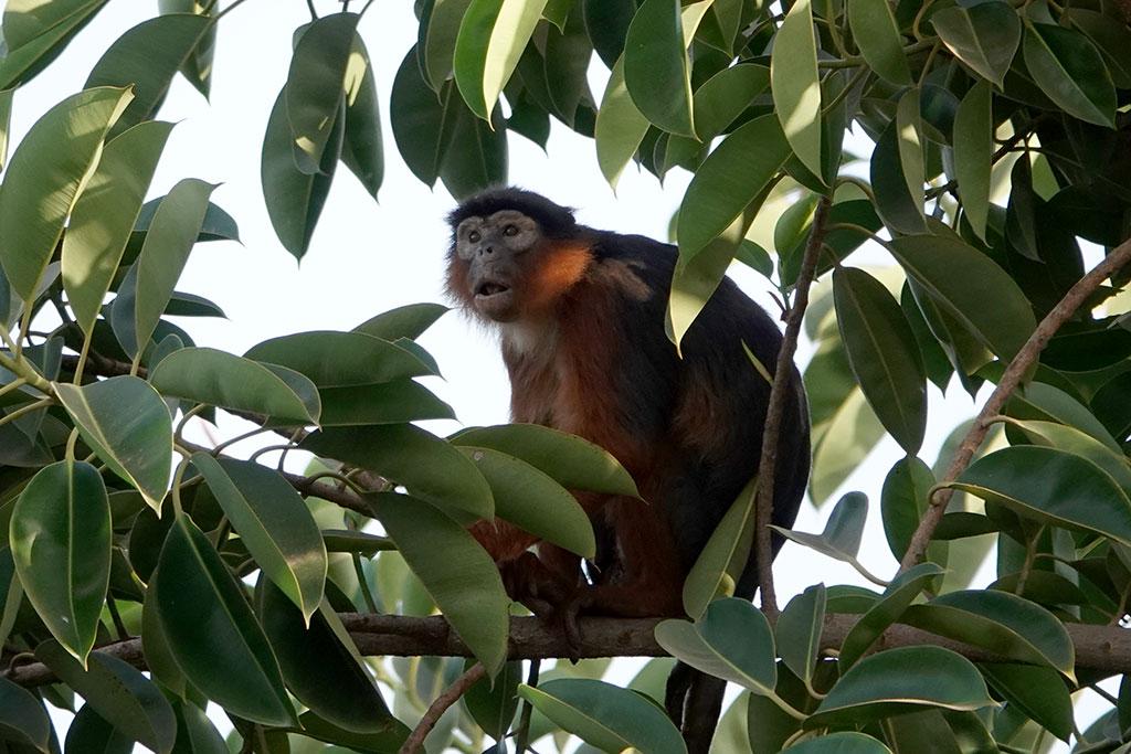 Red Colobus Monkey , Kotu, The Gambia.
