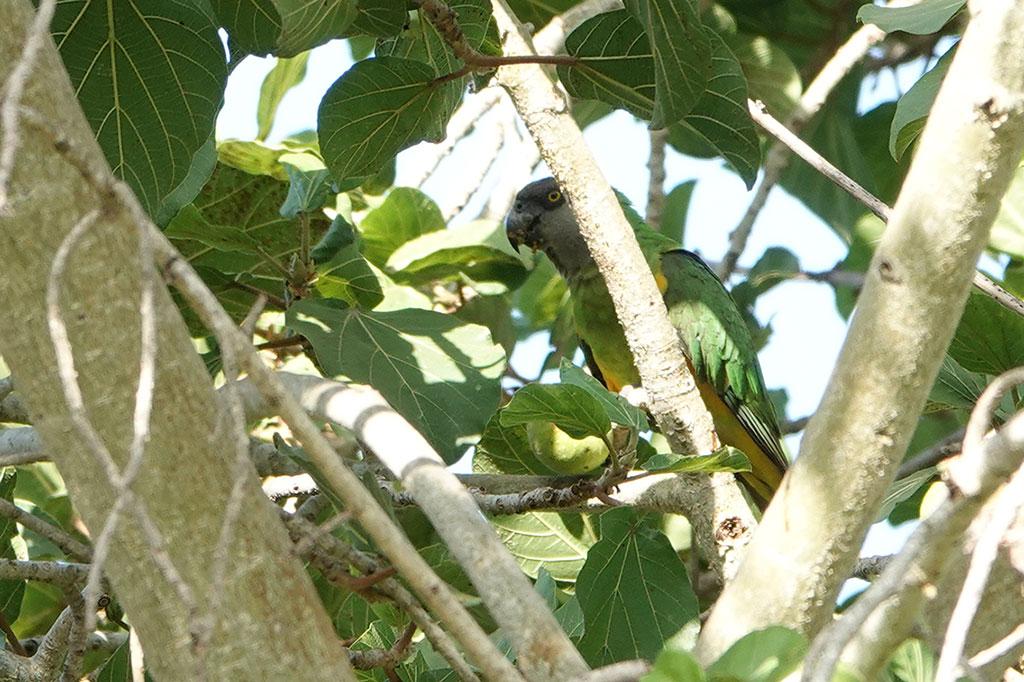 Senegal Parrot, Brufut Woods, The Gambia.