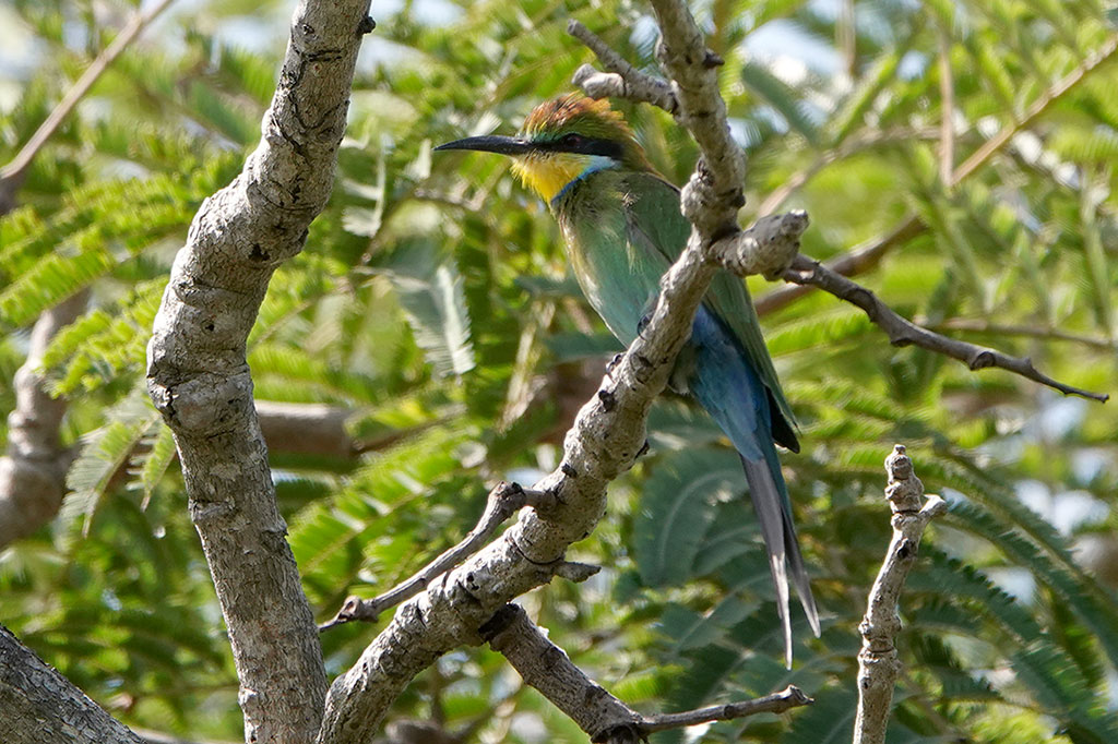 Swallow-tailed Bee-eater, Brufut Woods, The Gambia.