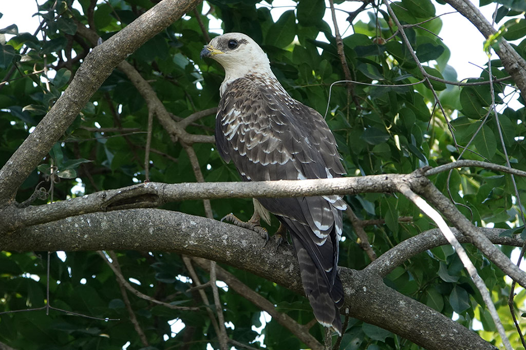 Wahlberg's Eagle, Brufut Woods, The Gambia.