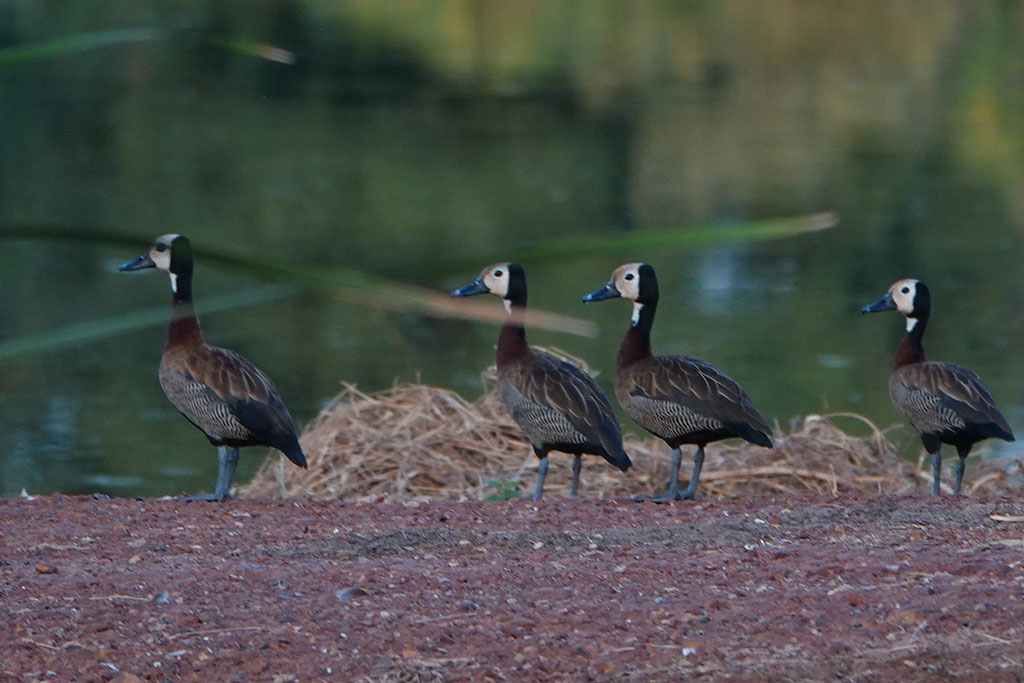 White-faced Whistling Duck, Kotu, The Gambia.
