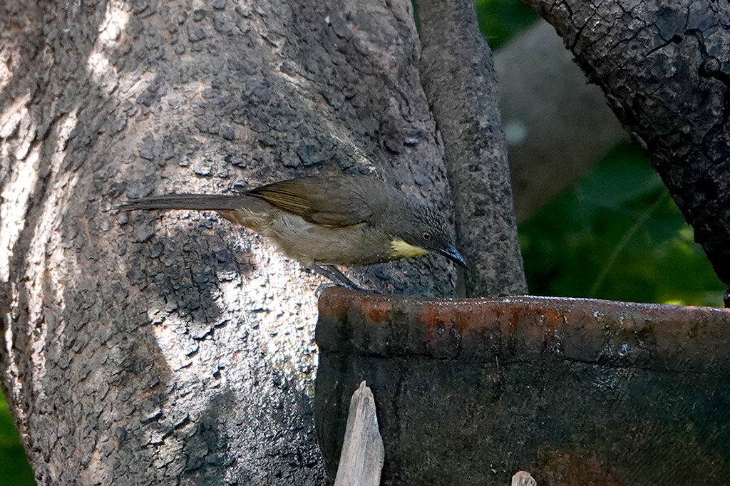 Yellow-throated Leaflove, Brufut Woods, The Gambia.