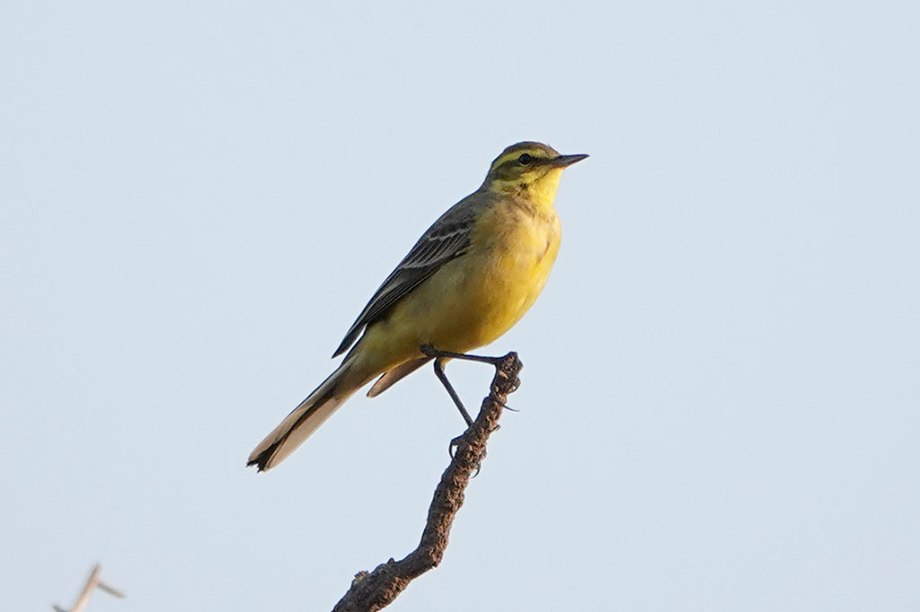Yellow Wagtail, Brufut Woods, The Gambia.