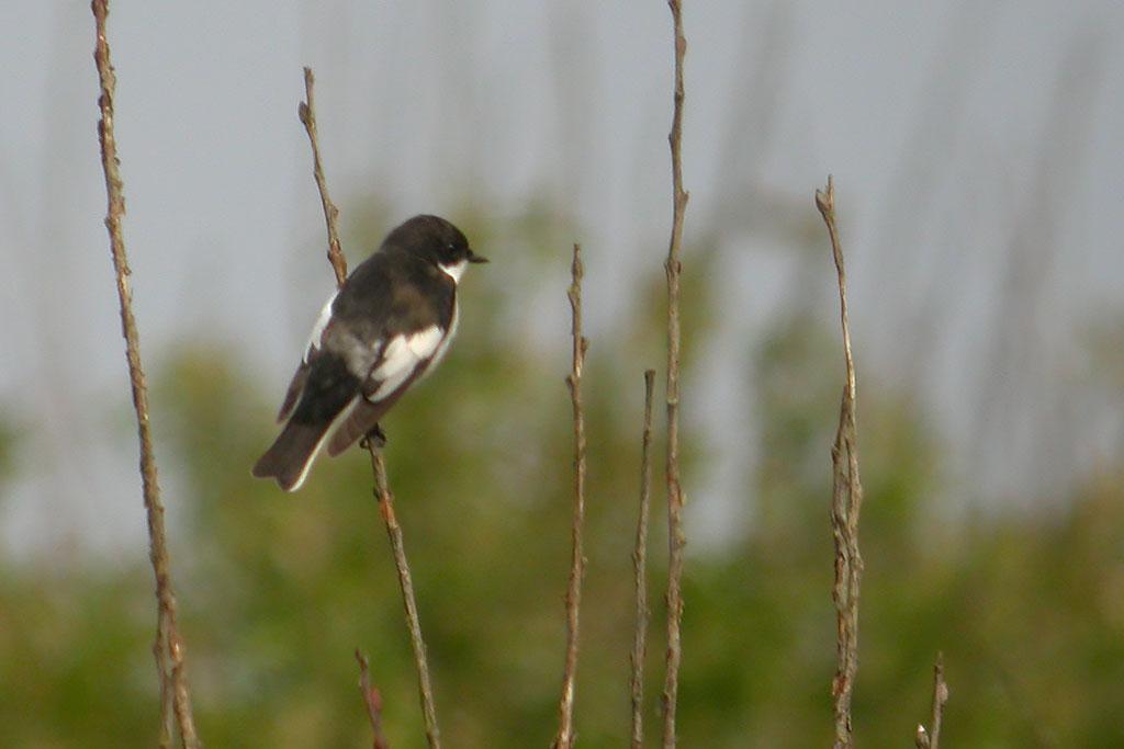 Pied Flycatcher, Co. Wexford, Ireland.