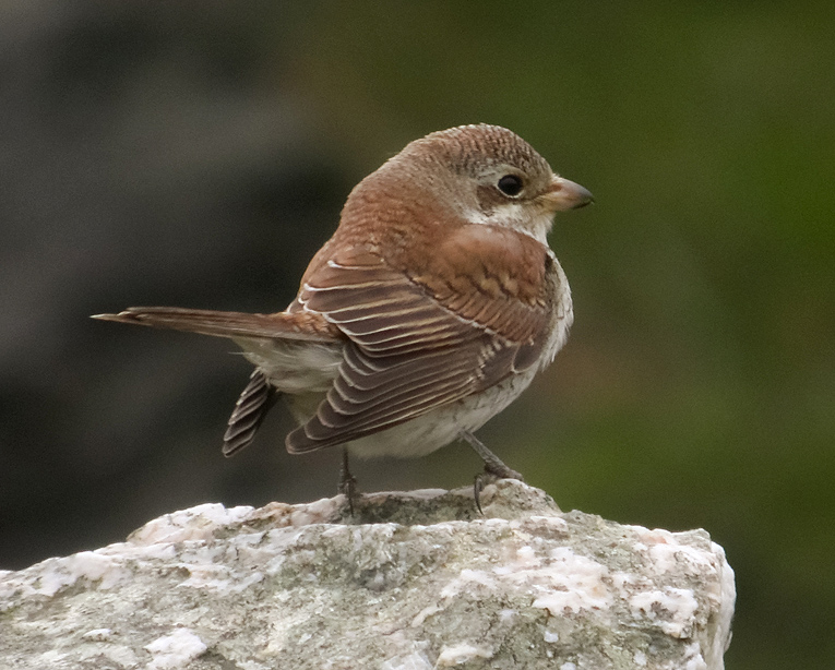 Red-backed Shrike, Co. Cork, Ireland.