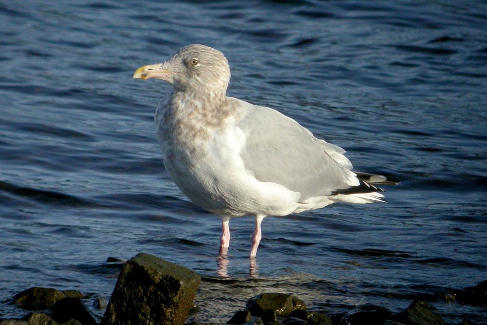 American Herring Gull, Co. Galway, Ireland.