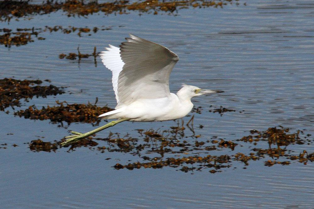 Little Blue Heron, Co. Galway, Ireland.