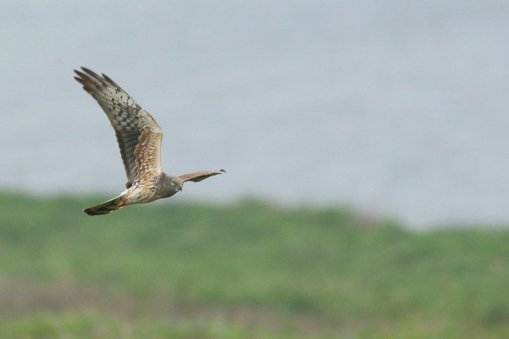 Montagu's Harrier, Co. Wexford, Ireland.