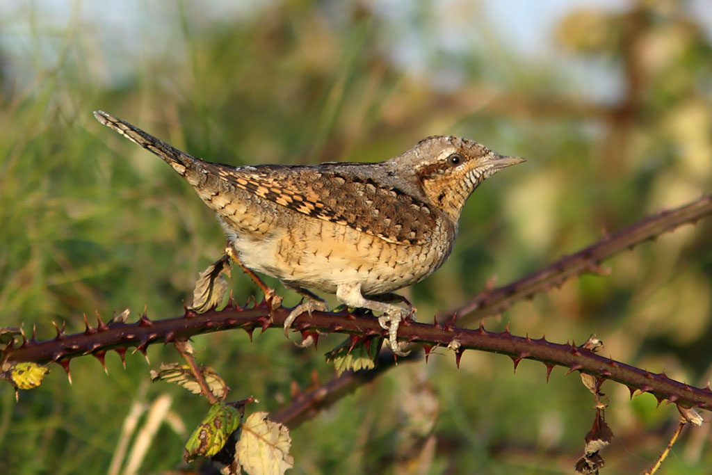 Wryneck, Co. Wexford, Ireland.