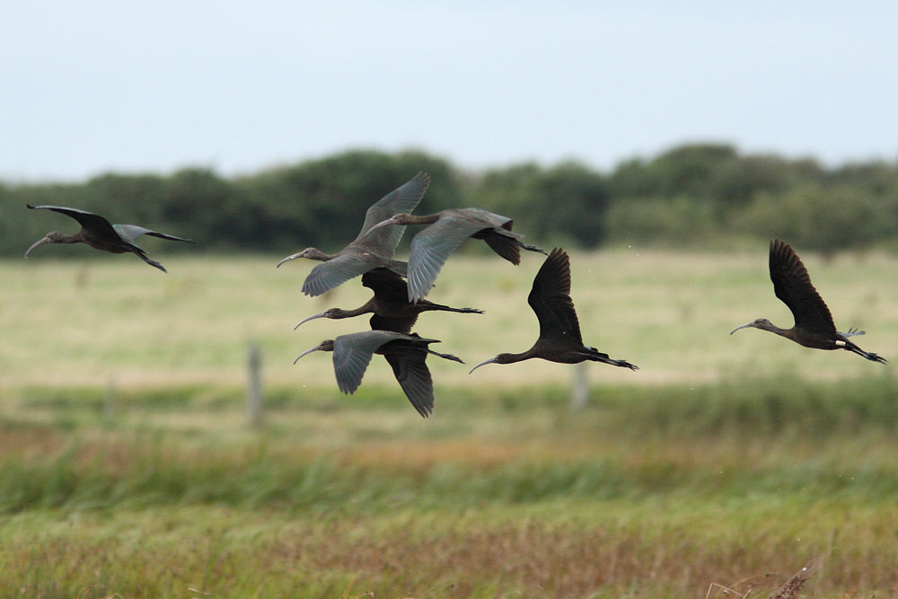 Glossy Ibis, Co. Wexford, Ireland.