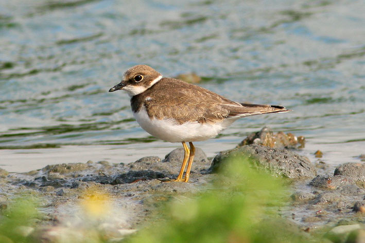 Little Ringed Plover, Co. Wexford, Ireland.