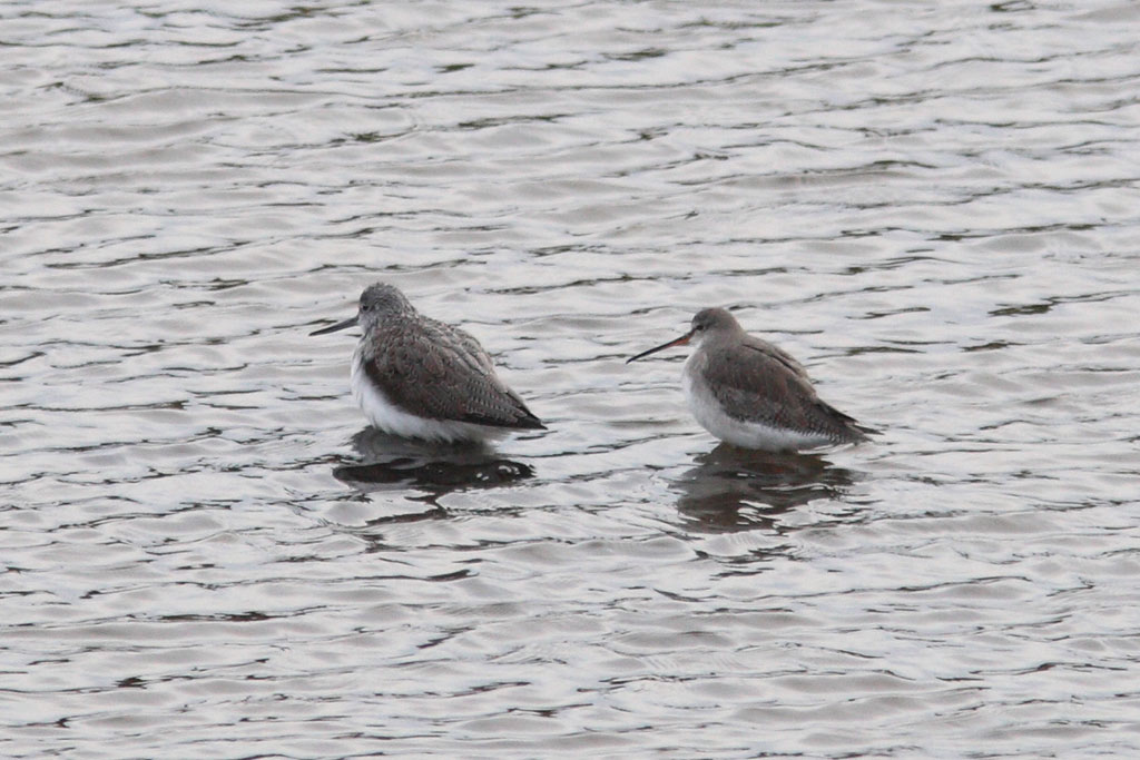 Spotted Redshank, Co. Wexford, Ireland.