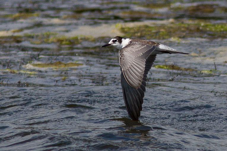 Black Tern, Co. Wexford, Ireland.