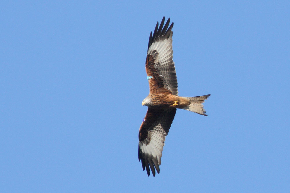 Red Kite, Co. Wicklow, Ireland.