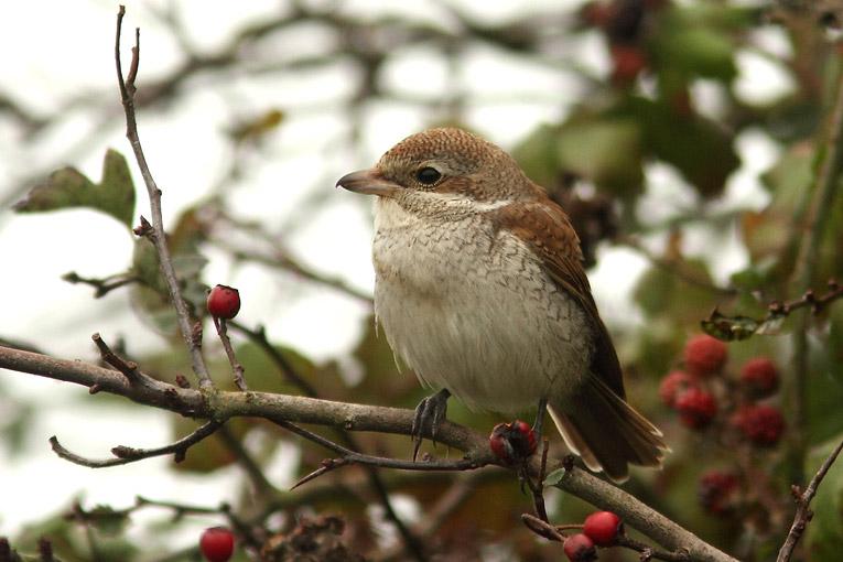 Red-backed Shrike, Co. Wexford, Ireland.