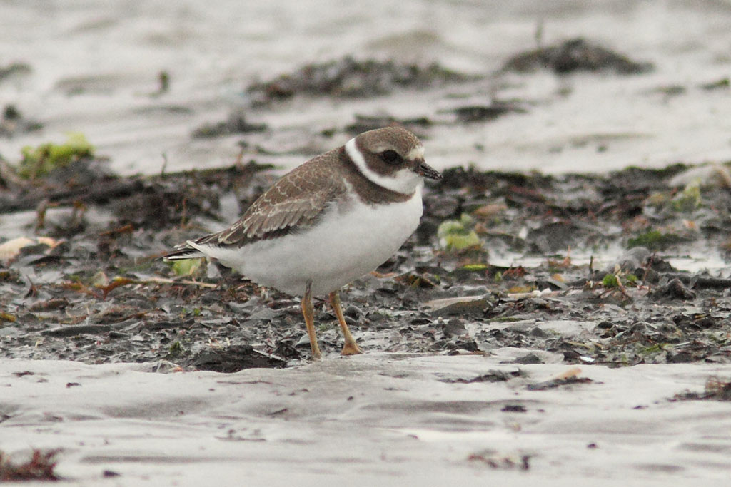 Semipalmated Plover, Co. Kerry, Ireland.