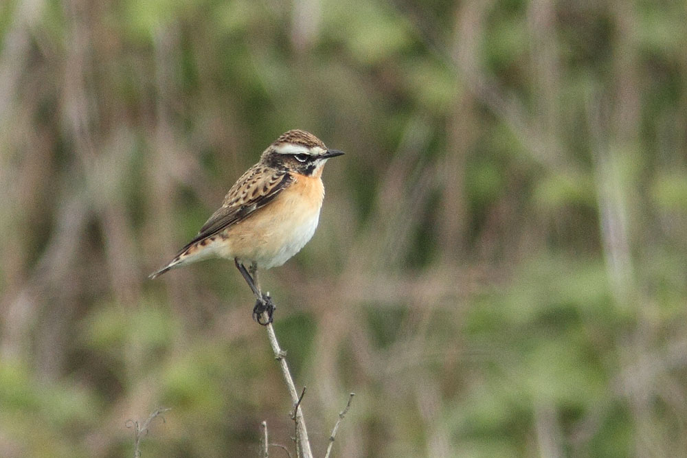 Whinchat, Co. Wexford, Ireland.