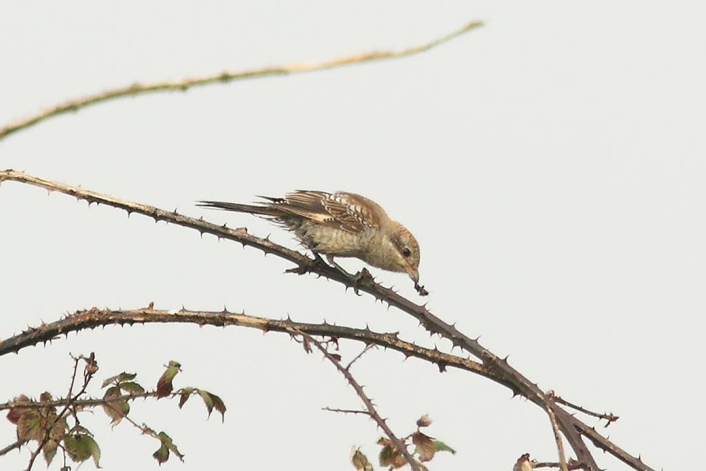 Woodchat Shrike, Co. Cork, Ireland.